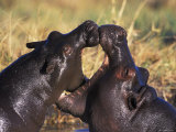 Hippopotamus Play Fighting  Moremi Nr  Botswana