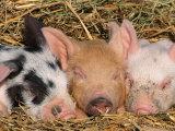 Piglets Sleeping, USA Papier Photo par Lynn M. Stone