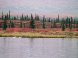 Trumpeter Swans (Cygnus Cygnus Buccinator) on Lake  Denali National Park  Alaska