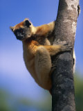 Golden Crowned Sifaka (Propithecus Tattersalli) Madagascar