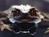 Common European Toad Female Portrait (Bufo Bufo) in Water  England