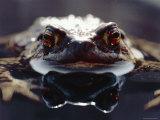Common European Toad Female Portrait (Bufo Bufo) in Water  England