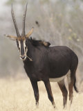 Sable Antelope  Chobe  Botswana