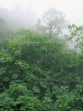 Tropical Rainforest Canopy in Mist  Braulio Carrillo National Park  Costa Rica