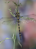 Golden-Ringed Dragonfly (Cordulegaster Boltonii) UK