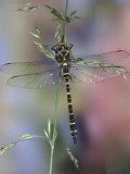 Golden-Ringed Dragonfly (Cordulegaster Boltonii) UK