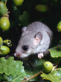 Fat / Edible Dormouse (Glis Glis) Europe