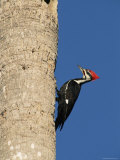 Pileated Woodpecker  Female at Nest Hole in Palm Tree  Fl  USA