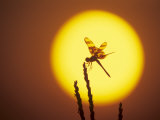 Haloween Pennant Dragonfly  Silhouette at Sunrise  Welder Wildlife Refuge  Sinton  Texas  USA