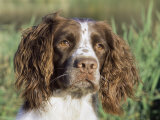 English Springer Spaniel Dog  USA