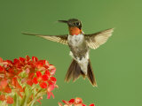 Ruby Throated Hummingbird Male Feeding on Kalanchoe Flower  New Braunfels  Texas  USA
