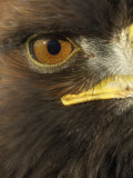 Golden Eagle (Aquila Chrysaetos) Close up of Eye  Cairngorms National Park  Scotland  UK