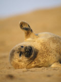 Grey Seal Pup &#39;Waving&#39; Paw  England  UK