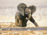 African Elephant Calf on Knees by Water  Kaokoland  Namibia