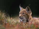Young European Lynx Waking up Among Bilberry Plants  Sumava National Park  Bohemia  Czech Republic