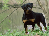 Rottweiler Dog in Woodland  USA