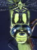 Southern Hawker Dragonfly (Aeshna Cyanea) Male  Close-Up of Eyes  UK