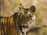 Tiger Portrait  Bandhavgarh National Park  India