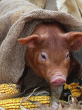 Domestic Pig in Sack  Mixed Breed  USA