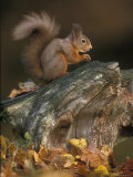 Red Squirrel  Autumn  Cairngorms National Park  Scotland