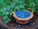 Blackthorn Berries on Shrub and in Basket (Prunus Spinosa) Europe