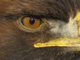 Golden Eagle Adult Portrait  Close up of Eye  Cairngorms National Park  Scotland  UK