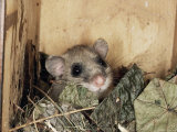 Fat Dormouse in Bird Nestbox  Switzerland
