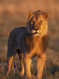 Male Lion Portrait in Evening Light  Etosha National Park  Namibia