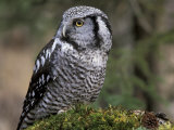 Northern Hawk Owl  Alaska  Us