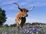 Texas Longhorn Cow  in Lupin Meadow  Texas  USA