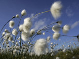 Cotton Grass  Blowing in Wind Against Blue Sky  Norway