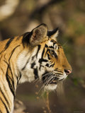 Tiger  Head Profile  Bandhavgarh National Park  India