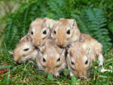 Dometic Gerbils (Meriones Unguiculatus)