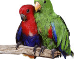 Young Eclectus Parrots  Female Left  Male Right  12-Wks-Old