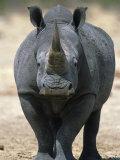 White Rhinoceros  Etosha National Park Namibia Southern Africa
