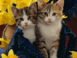 Domestic Cat  Two Tabby-Tortoiseshell-And-White Kittens in Blue Bag with Daffodils