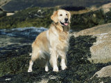 Golden Retriever Dog on Coast  Maine  USA