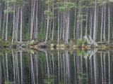 Pine Forest Reflections on Flat Calm Lochan  Cairngorms National Park  Scotland