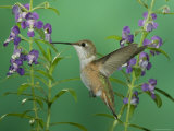 Rufous Hummingbird  Female Feeding on Purple Angelonia Paradise  Chiricahua Mountains  Arizona  USA