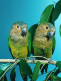 Orange-Cheeked Conures (Aratinga Pertinax Chrysophrys)