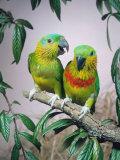 Salvadori's Fig Parrots  Pair (Psittaculirostris Salvadorii)