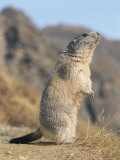 Alpine Marmot Calling  Switzerland
