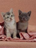 Domestic Cat  Blue Ticked Tabby and Burmese Kittens Under Pink Blanket  Bedroom