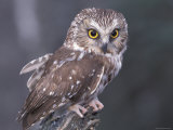 Northern Saw-Whet Owl  Alaska  Us