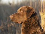 Chesapeake Bay Retriever Dog  USA