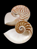 Chambered / Pearly Nautilus (Nautilus Pompilius) Shells  Indo-Pacific