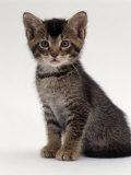 Domestic Cat  9-Week Agouti-Tabby Male Kitten (Hybrid Wild Cat Crossed with a Blue Burmese)