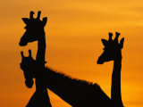 Giraffes  Silhouetted of Heads and Necks at Dawn  Botswana Savute-Chobe National Park