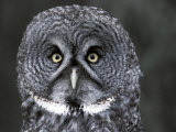 Great Grey Owl Portrait  Alaska  USA