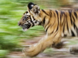 Tiger Cub Running  Four-Month-Old  Bandhavgarh National Park  India